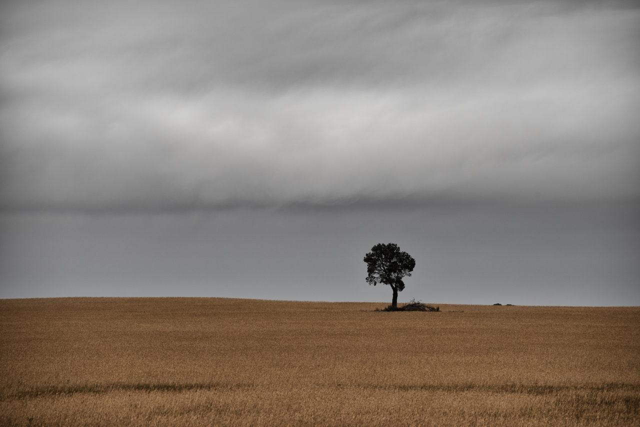 Lonely tree in a wheat field