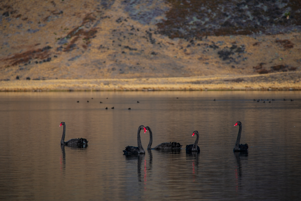 Beautiful black swans Wendy Philip Photography