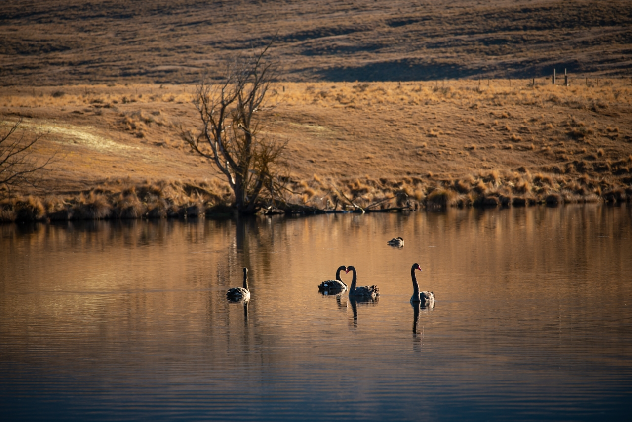 Group of swans in setting sun Wendy Philip Photography