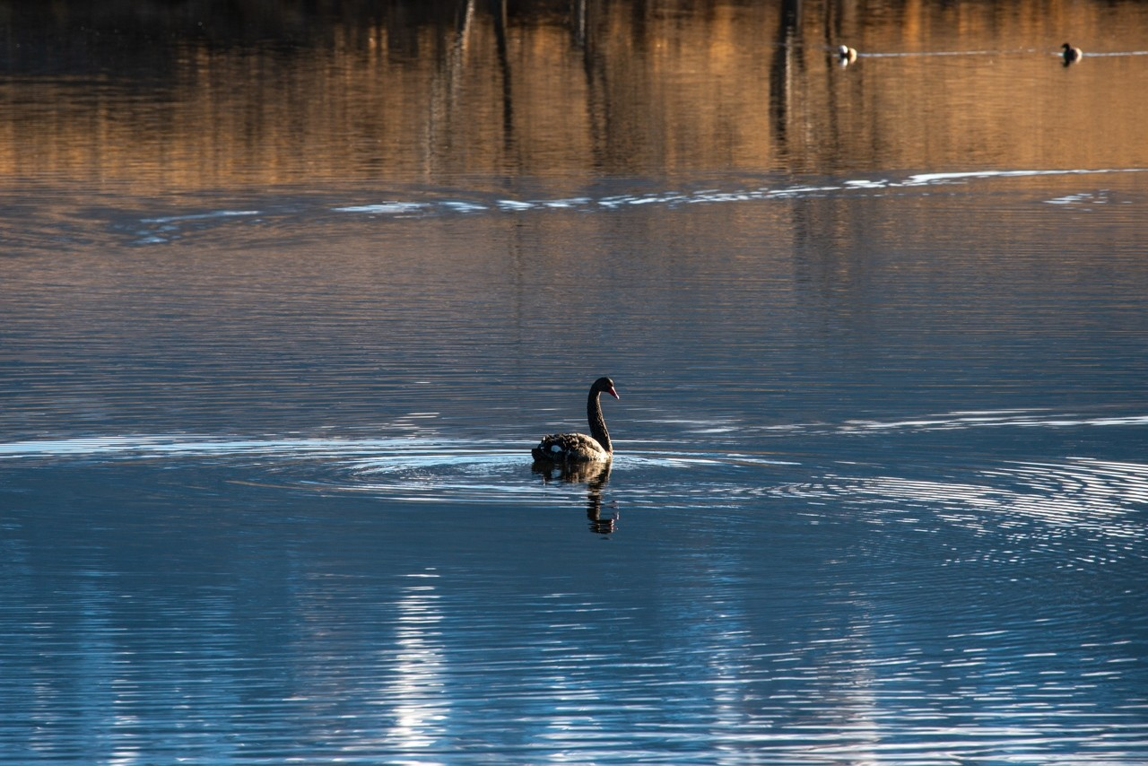 Swan in blue lake