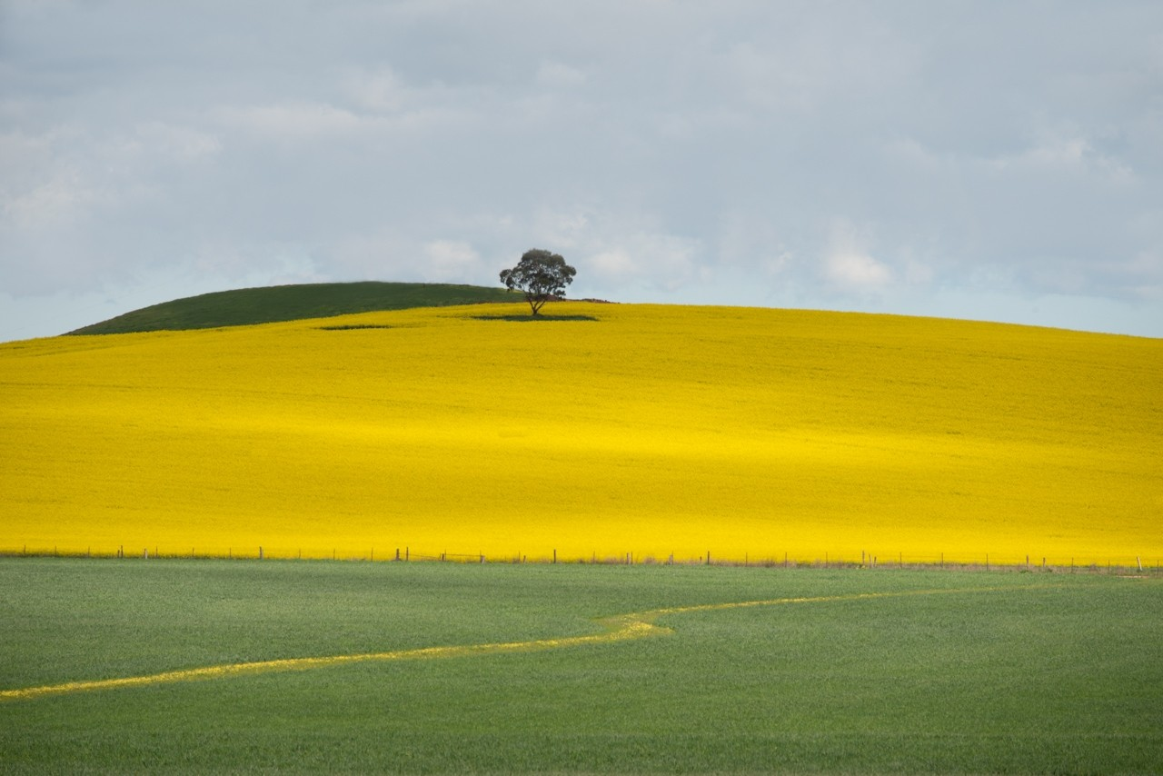 Canola and wheat field Barossa Valley