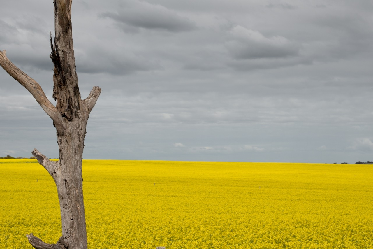 Canola field at Strathalbyn South Australia