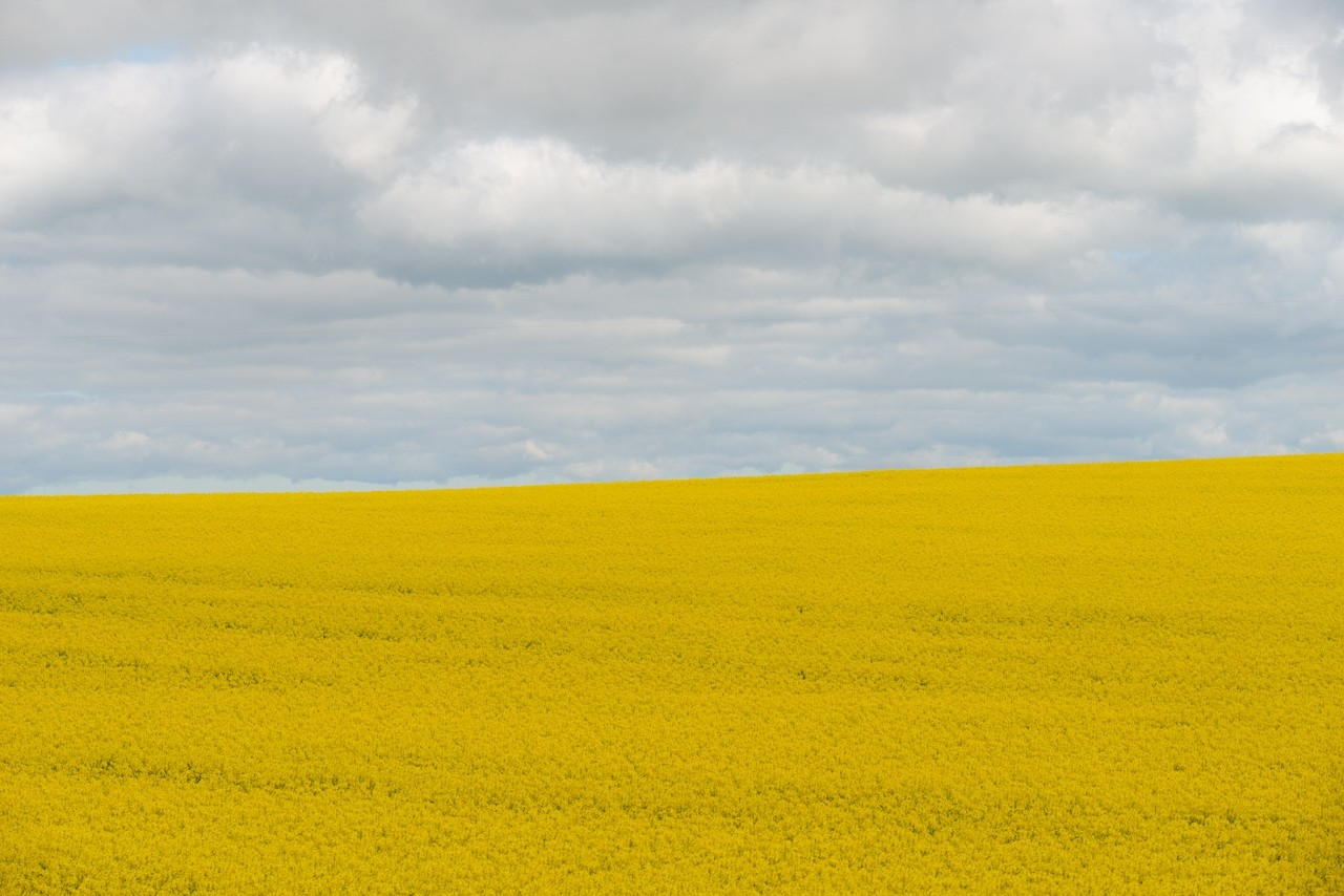 Yellow canola field. Barossa Valley, South Australia