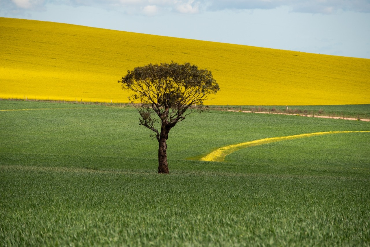 Single tree in a canola field. Barossa Valley, South Australia.