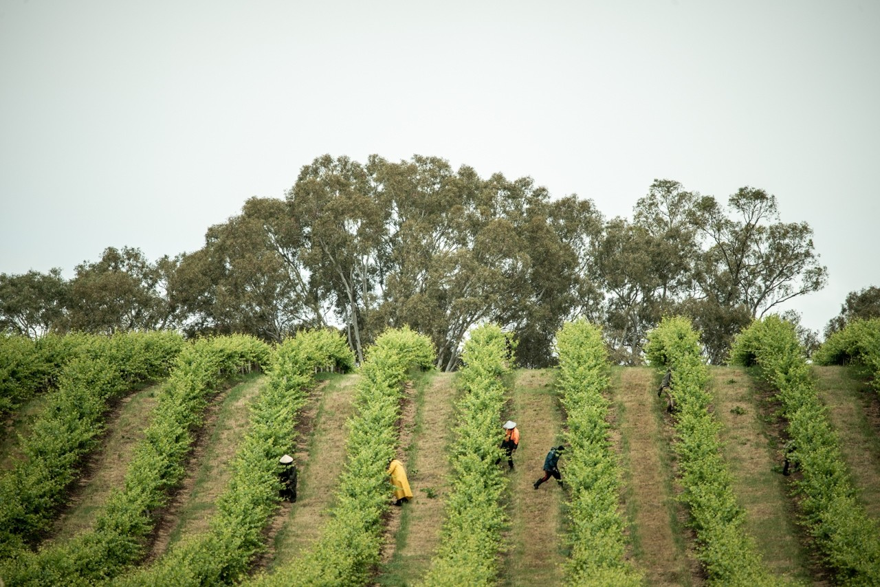 Grape workers Barossa Valley