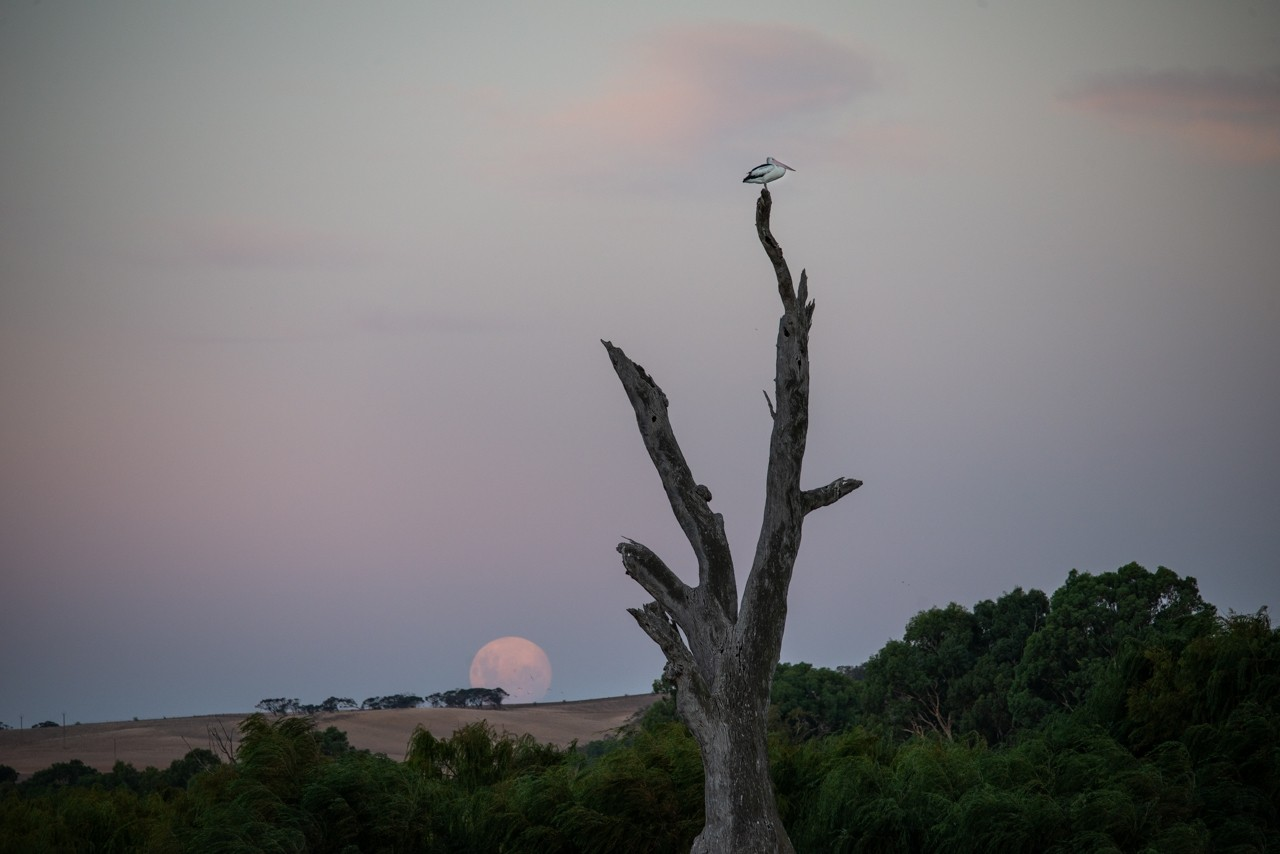 pelican and moon rising Murray River.