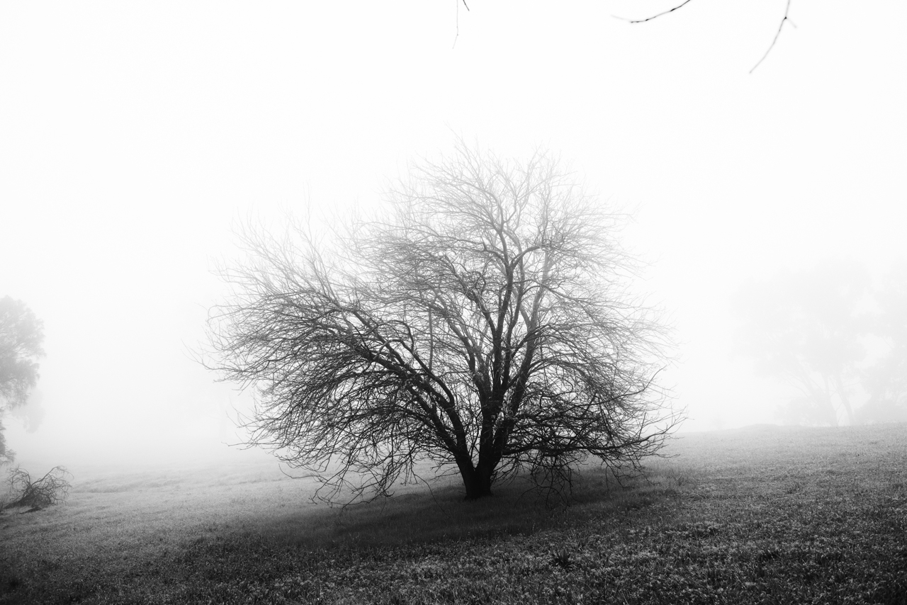 Lone-foggy-tree
