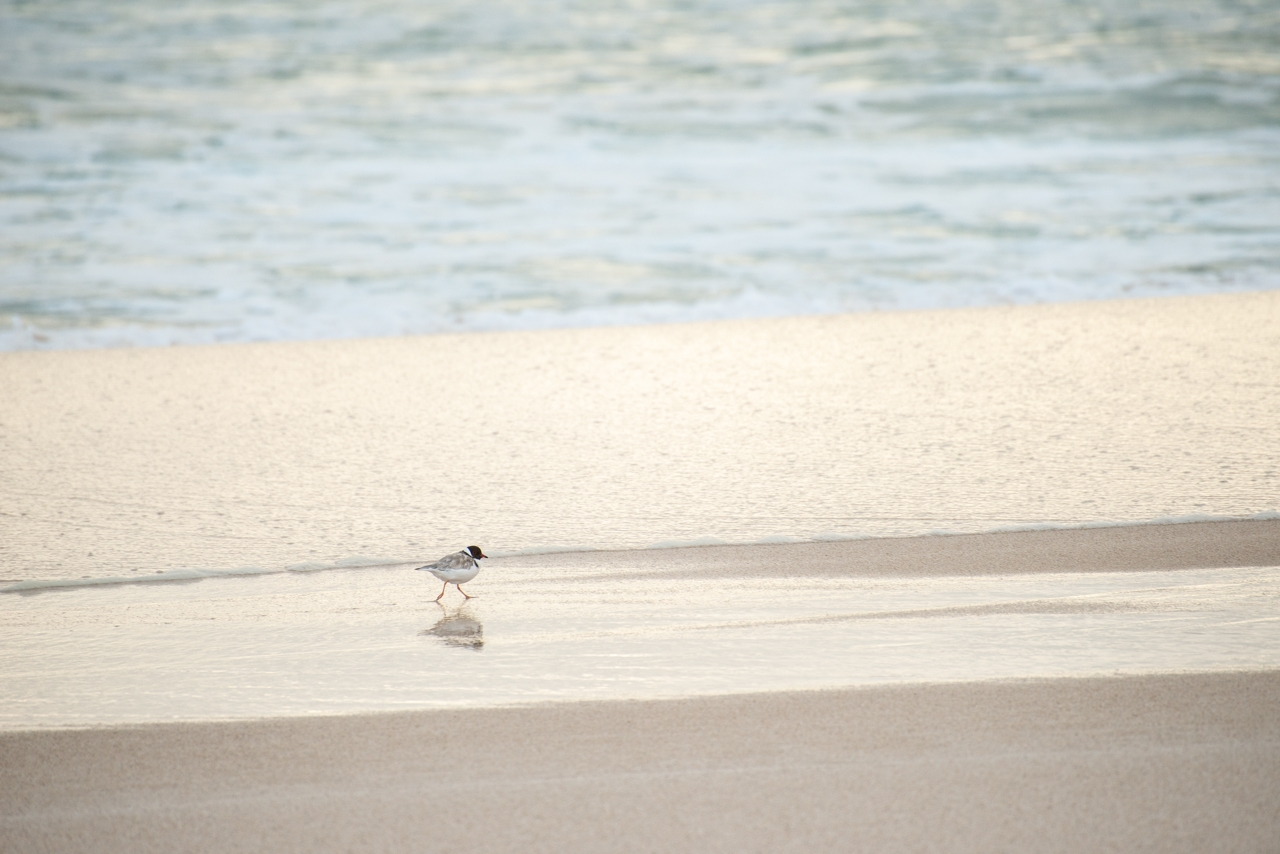 Hooded Plover West Cape South Australia
