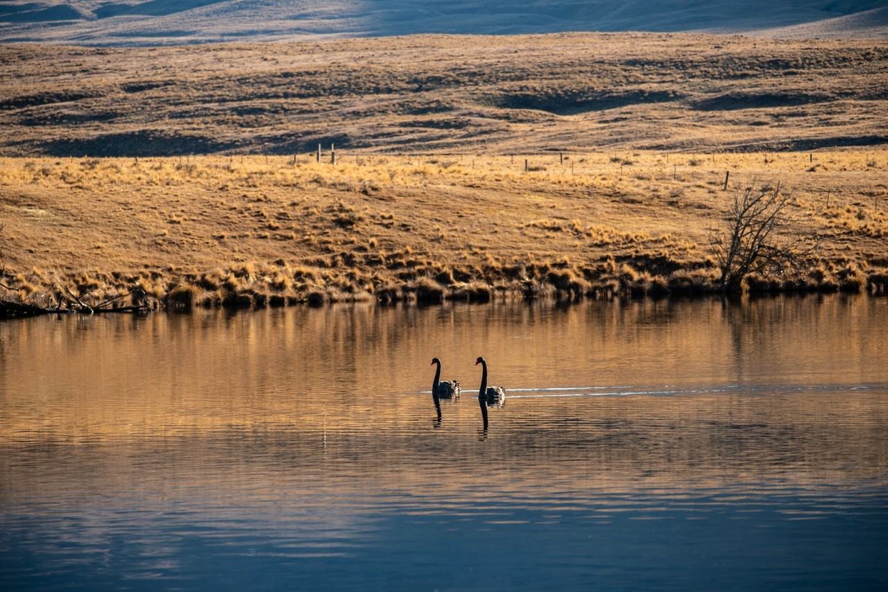 Two swans in the lake Wendy Philip Photography