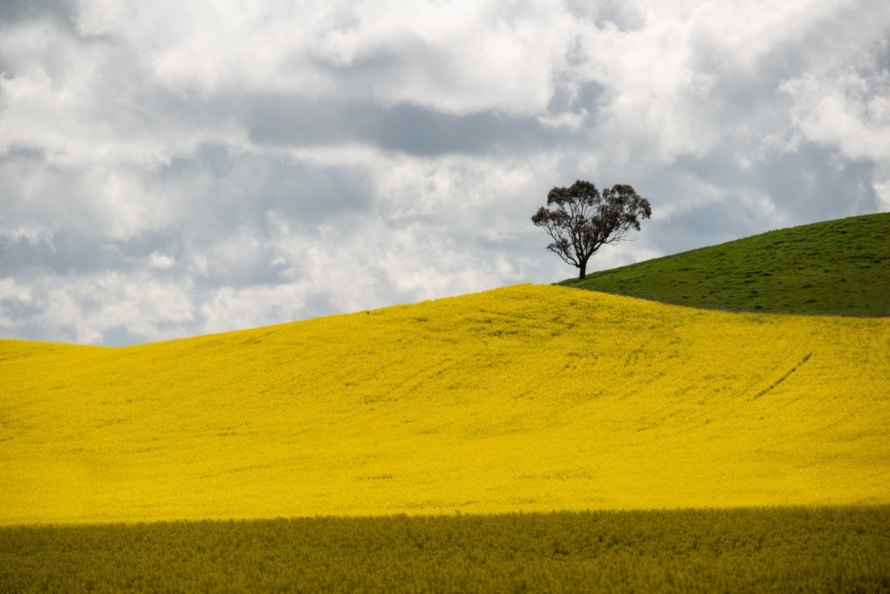 Canola fields in the Barossa Valley