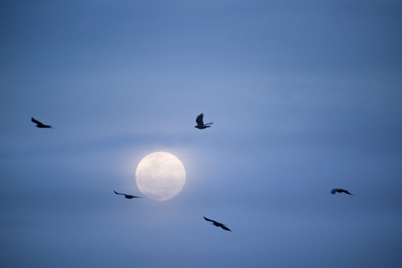 Crows flying past the moon.